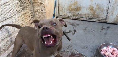 Pitbull'un yemeğine dokunmaya kalktılar! Adeta canavara dönüştü!