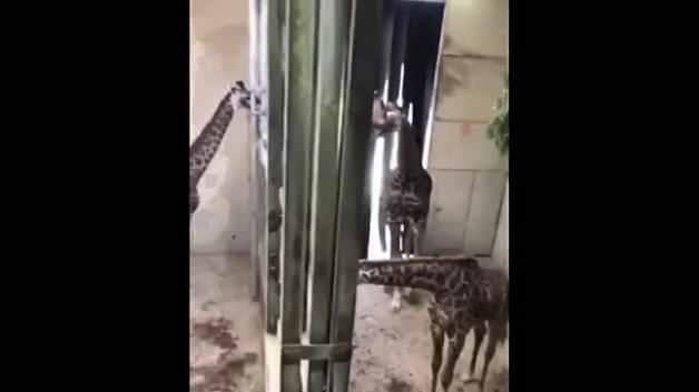 Doğum sonrası erkek zürafanın eşini ve yavrusunu ilk gördüğü anlar