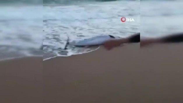 Sahile vuran yunus balığını böyle kurtardı