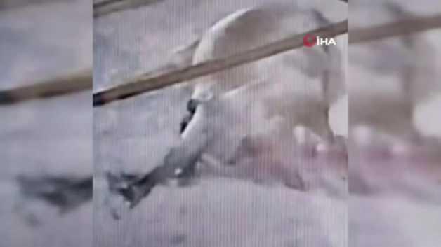 Yılan, 700 kiloluk kurbanlık boğayı telef etti