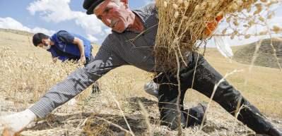 Şehit babasının tarlasını gençler hasat etti