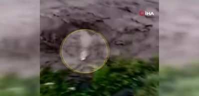 Sele kapılan dananın sürüklenme anı kameralara yansıdı