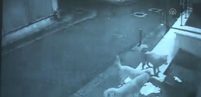 Sokak köpeklerinin kedievine saldırısı kamerada
