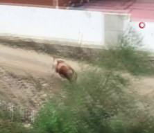 Başı boş köpeklerin saldırdığı ineklerin zor anları!