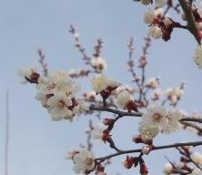 Erzincan'da kıştan çıkan bal arıları açan çiçeklerle buluştu
