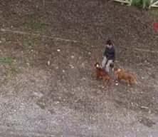 Gezdirdiği köpekleri döven kadından şoke eden sözler