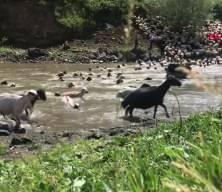 Kırkılan koyunları Kars Çayı'nda yıkandılar