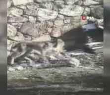 Nadir görülen vahşi hayvan şehir merkezine indi