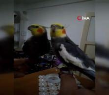 Papağan Bitik her sabah Ölürüm Türkiye'm diyerek güne başlıyor