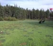 Torosların yılkı atları kamerada!
