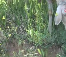 Uşak'ta akademisyen çobanı görenler şaşırıyor!