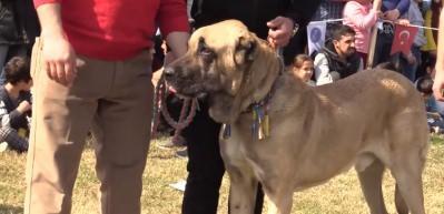 Tescilli yerli köpek ırkı sayısının 8'e çıkartılması hedefleniyor