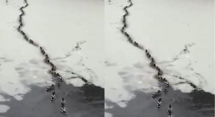 Buz tutan gölde kendilerine yol açan ördekler!