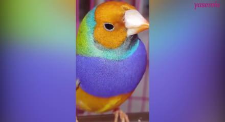 Gökkuşağı ispinoz kuşunun muhteşem renkleri!