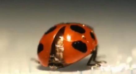 Uğur böceğine ilk kez bu kadar yakından bakıldı!