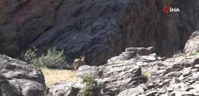 Tunceli'de yaban keçileri, yavruları ile görüntülendi