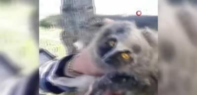 Yaralı yavru baykuşu kurtardı, etle besledi