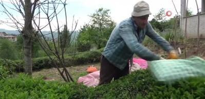 Yaş çay sezonu açıldı