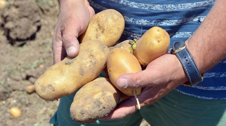 Patateste büyük fark!