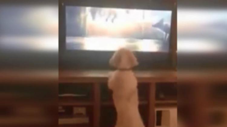 Televizyon izlerken heyecanlanan köpek