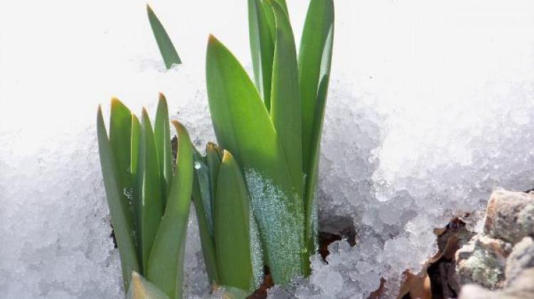 Çiriş bitkisi neye iyi geliyor?