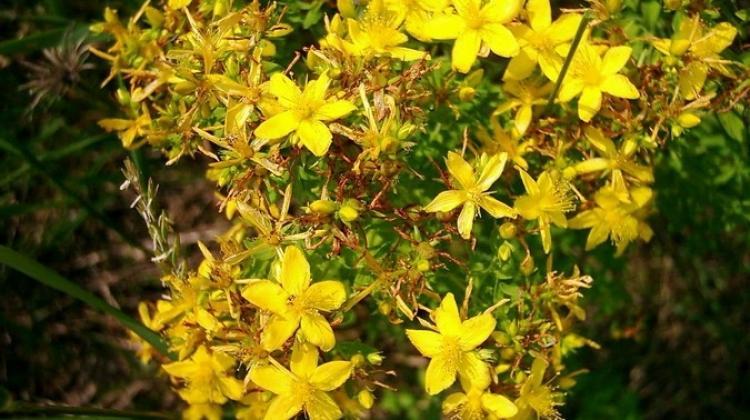 Sarı kantaronun bilinmeyen faydaları
