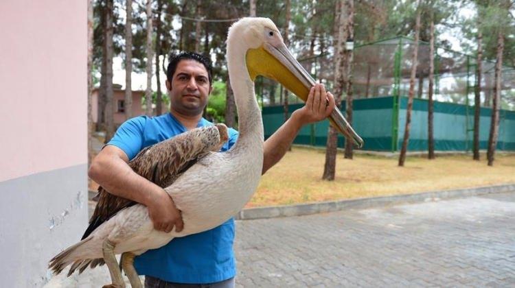 Pelikan için 500 kilometre kat ettiler