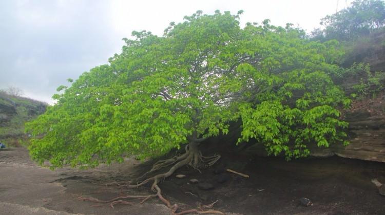 Bu ağaca dokunan ölüyor!