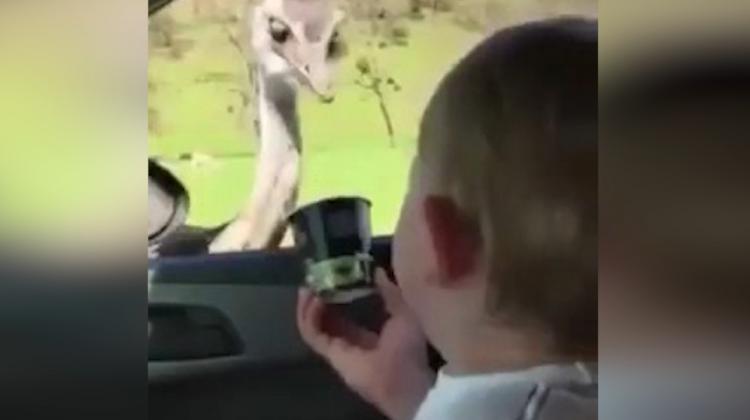 Krakerine ortak olan deve kuşu, kahkahaya boğdu