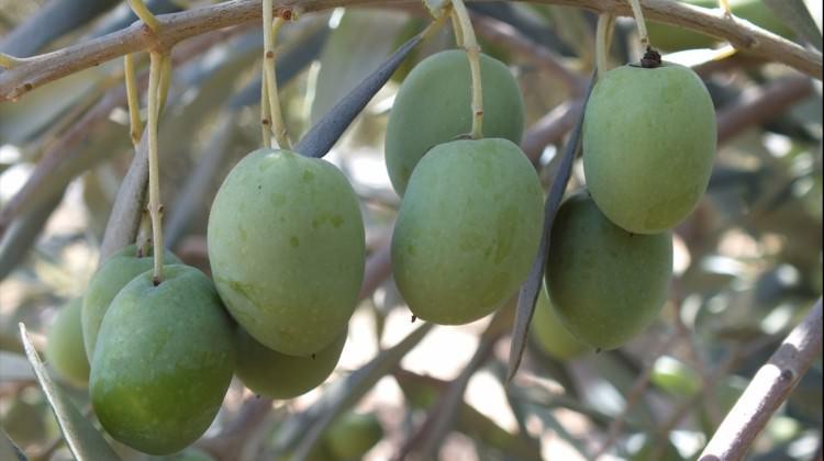 Silifke zeytin üretiminde iddialı