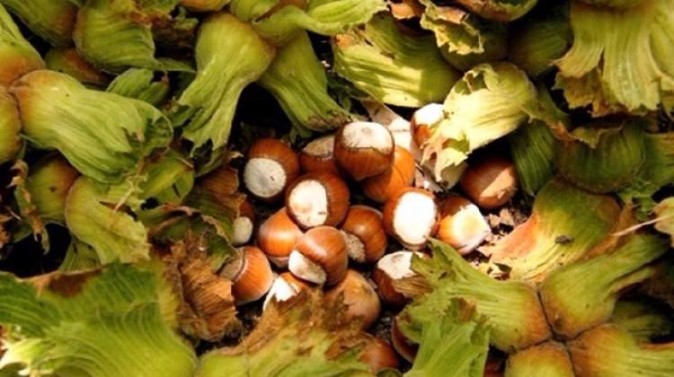 Çiğ fındığın faydaları