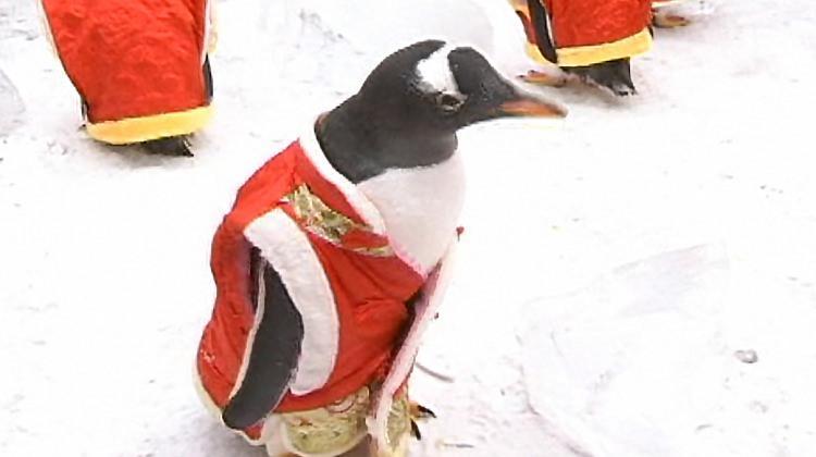 Çinli turistler sevimli penguenlere adeta bayıldı