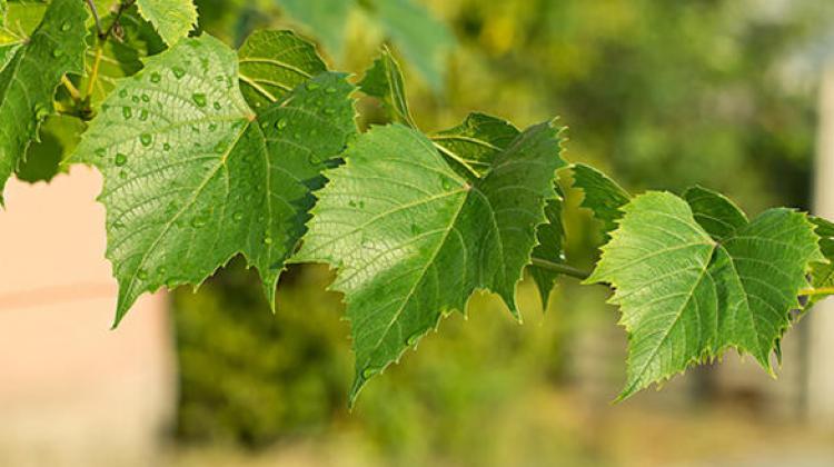 Asma yaprağının faydaları nelerdir? Asma yaprağı kürü nasıl yapılır?
