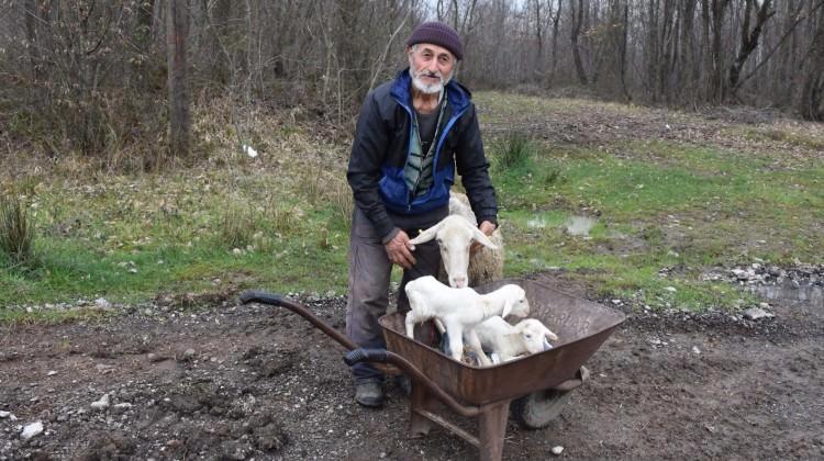 İkiz doğum yapan koyun duygulandırdı!