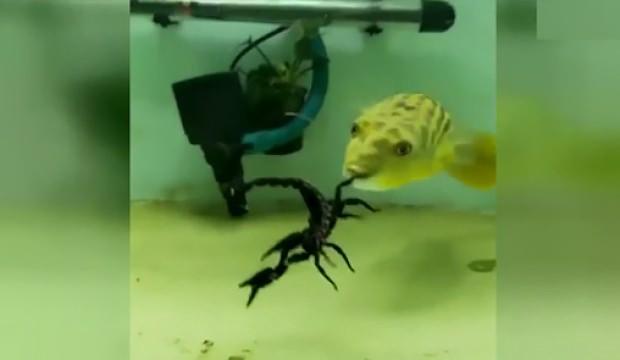 Bu balık tam bir yok edici!