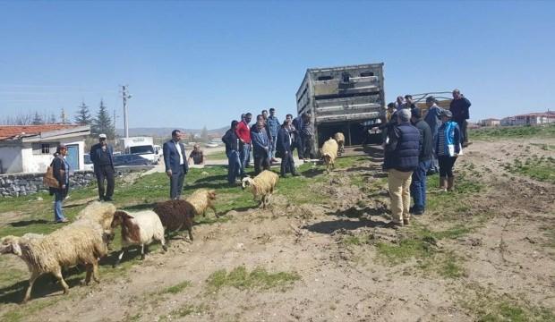 Kaman'da genç çiftçilere küçükbaş hayvan dağıtıldı