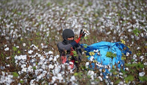 'Gelinlik giyen' tarlalarda zorlu mesai