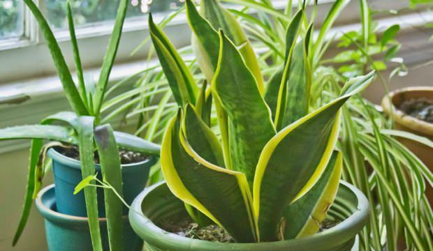 Yaprakların sararması nasıl önlenir? Yaprak bakımının püf noktaları