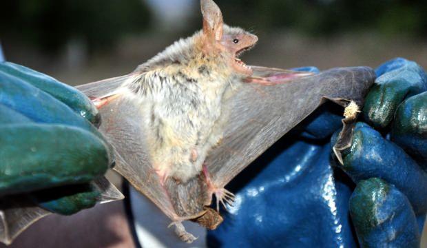 """""""Yarasa kesesi"""" dolandırıcılığı ekolojik sistemi tehdit ediyor"""