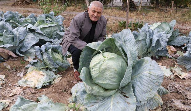 Yozgat'ta lahana hasatı sürüyor