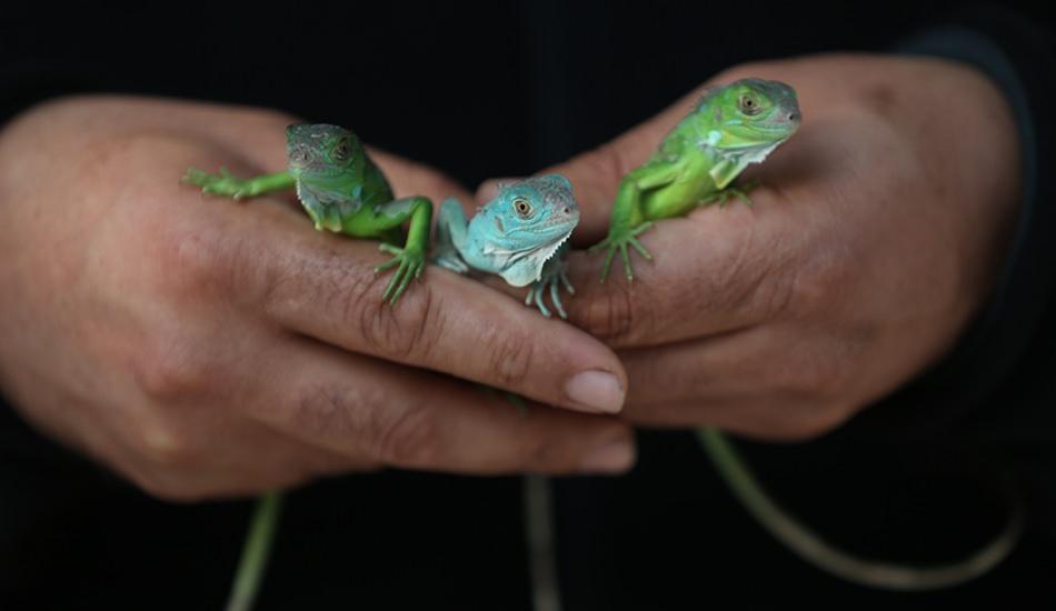 47 iguanayı elleri ile besliyor