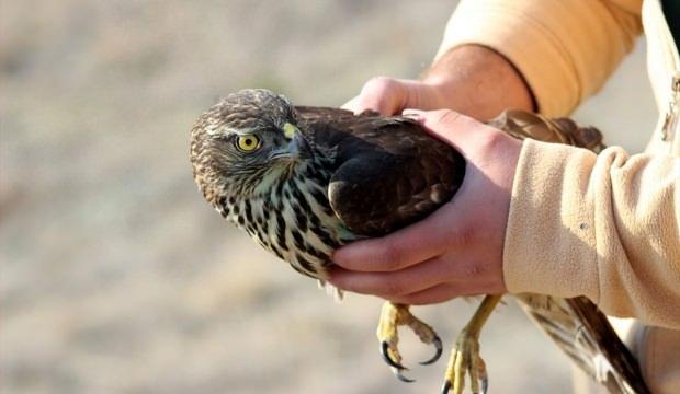 Yaralı kara akbaba ve çakır kuşu tedavi edildi