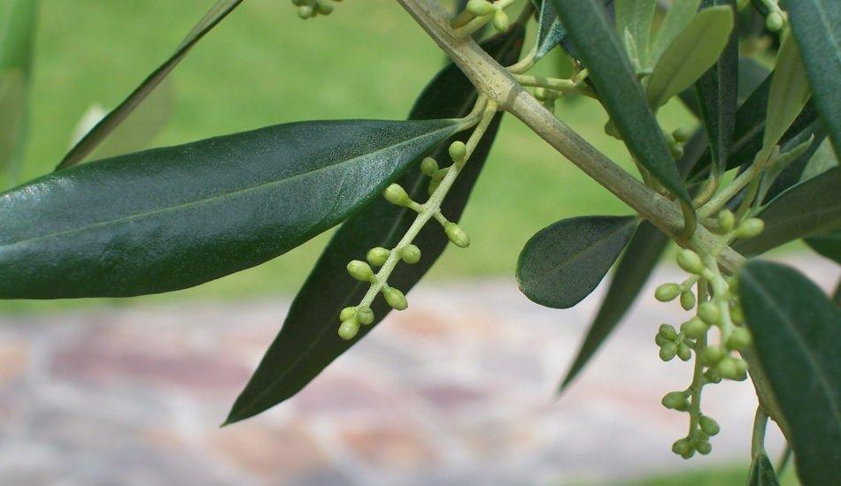 Dal gibi zayıflatan zeytin yaprağı çayı nedir, faydaları neler? Zeytin yaprağı tozu...