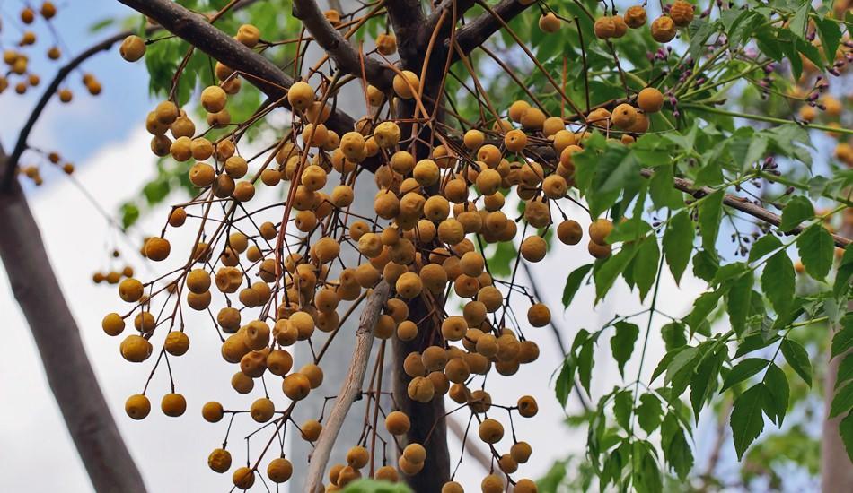 Tesbih ağacı yağının saça faydaları nelerdir? Tesbih ağacı yağı kullanımı