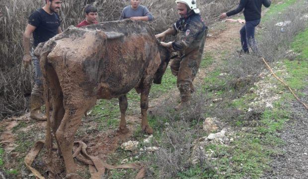 Şanlıurfa'da tahliye kanalına düşen inek kurtarıldı