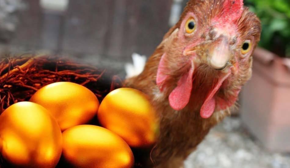 Bursalı bir vatandaş Brezilya'dan altın yumurtlayan tavuk getirdi