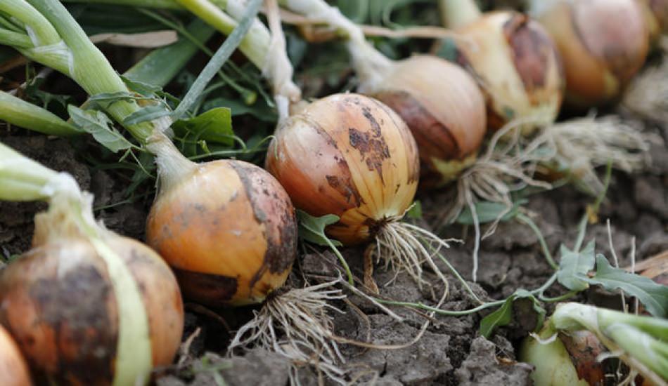 Kuru soğan yetiştirme ve saklama yöntemleri