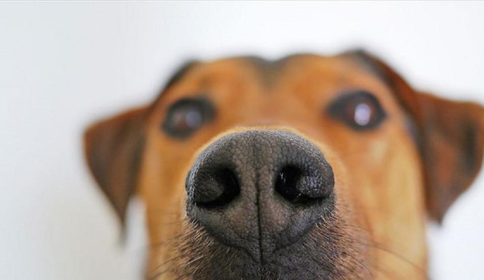 Köpekler artık kanser teşhisi yapacak!