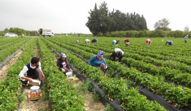 Çilek hasadı başladı: Rusya talebi arttırdı - Ekonomi Haberleri