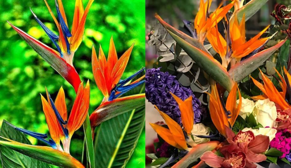 Cennet Kuşu çiçeği bakımı nasıl yapılır?